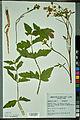 Neuchâtel Herbarium - Pastinaca sativa - NEU000088731.jpg