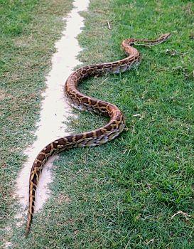 Never seen a huge snake python.jpg