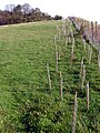 New thorn hedge planted by the M3 cutting, Twyford Down - geograph.org.uk - 270613.jpg