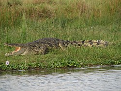Crocodylus niloticus (crocodilo do Nilo)