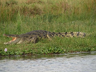 Crocodyloidea Superfamily of crocodiles