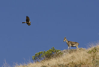 Nilgiri tahr - Adult male and female pallid harrier at Eravikulam National Park, also in the Idukki District
