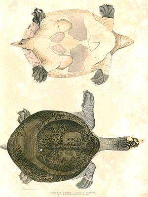 Indian peacock softshell turtle - Image: Nilssonia hurum Hardwicke