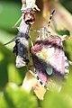 Noordwijk - Bessenschildwants (Dolycoris baccarum).jpg