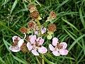 Noordwijk - Braam (Rubus sp).jpg
