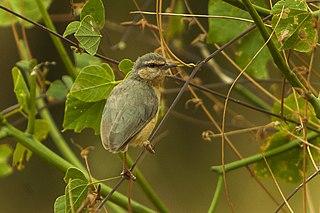 Northern crombec species of bird
