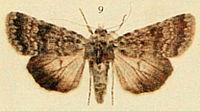 Northern Rustic Moths of the British Isles.jpg