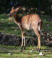 Nyala Tierpark Hellabrunn-9.jpg