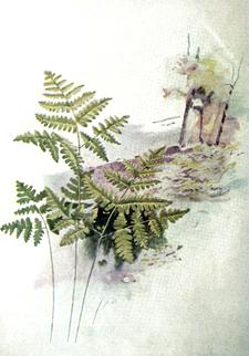 OFH-002 Plate 7 Phegopteris dryopteris.png