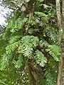 Oak-leaf Fern (Drynaria quercifolia) (8082752246).jpg