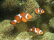 Ocellaris clownfish.JPG