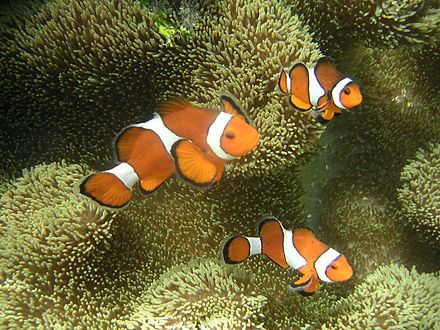 Clownfishes are initially male; the largest fish in a group becomes female Ocellaris clownfish.JPG