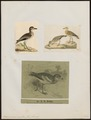 Oedicnemus crepitans - 1700-1880 - Print - Iconographia Zoologica - Special Collections University of Amsterdam - UBA01 IZ17200077.tif