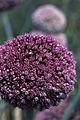 Oignons(fleurs) Cl J Weber04 (23677293485).jpg