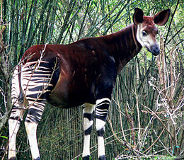 En okapi i «Animal Kingdom» i Disneyworld