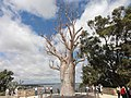 Old tree is New to perth - panoramio.jpg