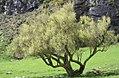 Olearia hectorii, mature tree.jpg