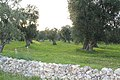 Olive Groves in Puglia Countryside - panoramio (2).jpg