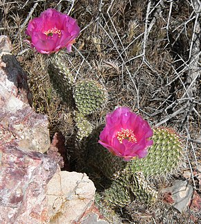 Description de l'image  Opuntia polyacantha 6.jpg.