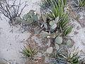 Opuntia rufida (5658899944).jpg