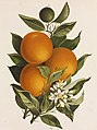 Oranges in 19th-century art in the United States, from- Oranges and Poppies (Boston Public Library) (cropped).jpg