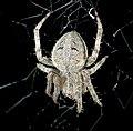 Orb Weaver Spider (181442332).jpg