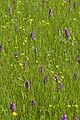 Orchideeenveld.jpg