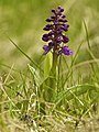 Orchis mascula LC0276.jpg