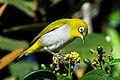 Oriental White-eye (3) by N.A. Nazeer.jpg