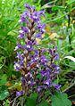 Orobanche nana (O. ramosa subsp. nana) - Flickr - gailhampshire.jpg