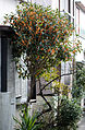 Osmanthus fragrans in full bloom.jpg