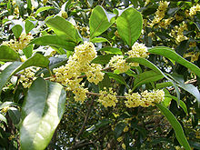 Sweet Osmanthus blossoms