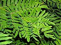 Osmundaceae - Osmunda regalis-1 (8304693080).jpg