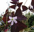 Oxalis-regnellii-atropurpurea.jpg