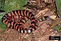 Oxyrhopus clathratus.jpg