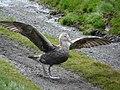 Pétrel géant aux ailes déployées - panoramio.jpg