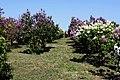 Pētera Upīša dārzs Dobelē - panoramio (1).jpg