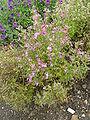 P1000504 Schizanthus wisetonensis (Angel Wings) (Solanaceae) Plant.JPG