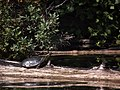 Painted turtle (6129856405).jpg