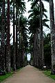 Palmeiras Imperiais do Jardim Botânico, RJ, Brasil..jpg