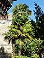 Palmier de Chine Bergerac Mounet-Sully.jpg