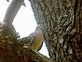 Paloma en un árbol2.JPG