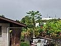 Papaya in someone's yard.jpg