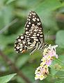 Papilio demoleus 03.jpg