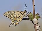 Papilio machaon - Old world swallowtail 03.JPG