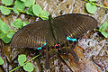 Papilio paris nakaharai back 20120526.jpg