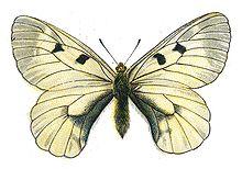 http://upload.wikimedia.org/wikipedia/commons/thumb/1/18/Parnassius_mnemosyne_by_Nemos.jpg/220px-Parnassius_mnemosyne_by_Nemos.jpg