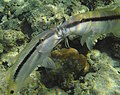 Parupeneus forsskali. Mullidae (Барабульки)..PHOT0693BE.jpg