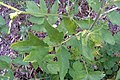 Pastinaca sativa subsp. urens leaf (03).jpg
