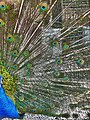 Peacock - panoramio (1).jpg